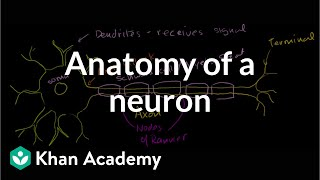 Download Anatomy of a Neuron Video
