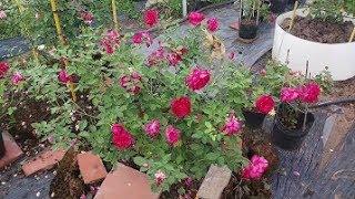 Download Giới thiệu hoa hồng Autumn rouge rose (Nhật Bản) Video