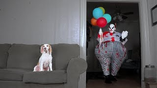 Download Dog Takes Down Scary Clown: Cute Dog Maymo Video