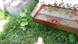 Download bee venom collecting with - BeeWhisper , Canada Video