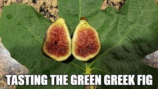 Download Figs. A visit to my brother's garden and the Dark Green Greek fig Video