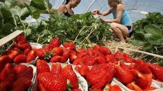 Download Самые необычные машины для сбора урожая ягод, фруктов и овощей Video