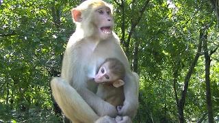 Download Khỉ con dễ thương phục vụ khách du lịch ở vườn quốc gia malaysia Video