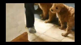 Download Miniature Golden Labradoodle Puppies For Sale Video