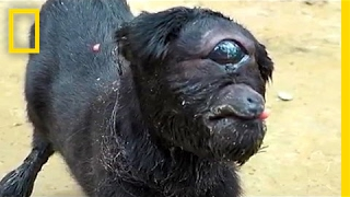 Download ″Cyclops″ Goat Born in India | National Geographic Video