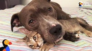 Download Pit Bull Dog, Cats, and Rats Siblings Make the Perfect Family   The Dodo Video