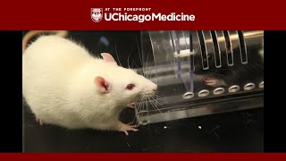 Download Rats show kindness toward strangers, a new study shows Video