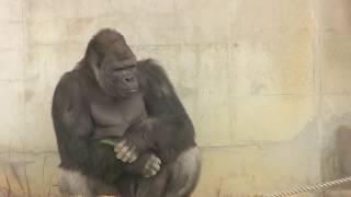 Download 東山ゴリラ シャバーニ家族の日々82 Shabani gorilla famil Video