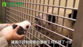 Download 當圓仔與圓圓相會 When Giant Panda Cub Yuan Zai Meets Mother, Yuan Yuan (English Subtitle Available) Video