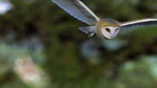 Download An Introduction to the Barn Owl Video