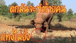 Download ช้างตกมันจ้องจะทำร้าย หลบแทบไม่ทัน Video