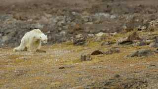 Download Starving polar bear video exposes climate change impact Video