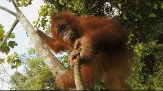 Download GoPro: Our Orangutan Brethren Video