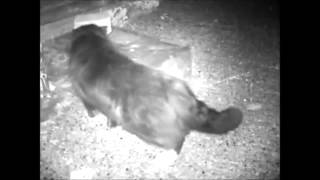 Download Hedgehog Street: hedgehog feeding station BREAK IN! Unwanted guest makes an undignified exit... Video