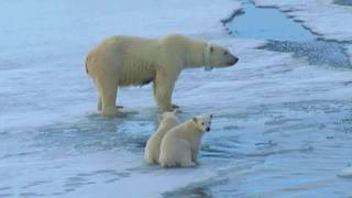 Download Polar bear mother and cubs Video