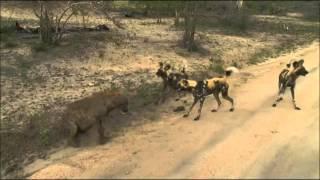Download SafariLIVE AM Hyena vs. Wild Dogs 02/29/16 Video