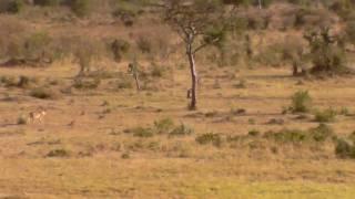 Download Lion Vs Leopard Video