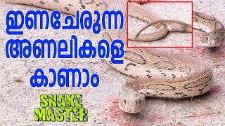 Download Wow ! Mating Russell's Viper & Baby Cobra   Snake Master Video