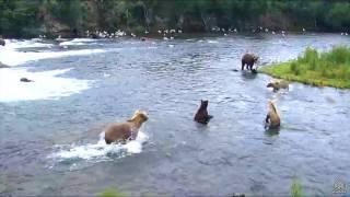 Download Bear 128 Grazer and Victim 503 Video