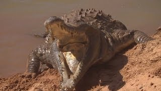 Download Orinoco Crocodile Protects Her Nest | Deadly 60 | BBC Earth Video