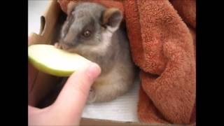 Download Feeding a rescued baby ringtail possum Video