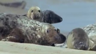 Download Seal population attracting Great White Sharks? | BBC Earth Video