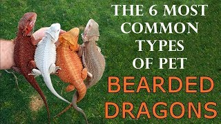 Download Types Of Bearded Dragons - The 6 Most Common Types of Pet Bearded Dragons Video