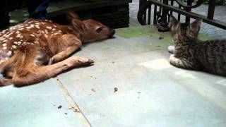 Download Kitten excited to see baby deer on the front porch Video