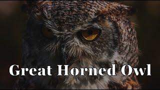 Download Night's Silent Killer; The Great Horned Owl (World Bird Sanctuary) - Episode 119 Video
