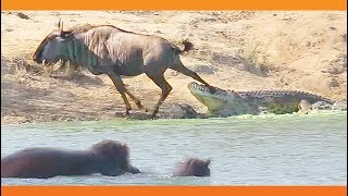 Download Hippos Come to Rescue Wildebeest from Crocodile Video