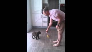 Download 10 week old working cocker spaniel puppy in training Video
