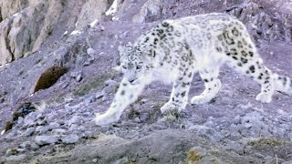 Download Elusive Snow Leopard Of The Himalayas - Planet Earth II Video