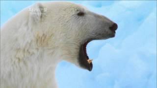 Download [뽀뽀뽀동물원] 바다표범 사냥하는 북극곰 - The polar bear hunts seals Video