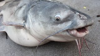Download How to catch catfish in Summer - catfishing tips Video
