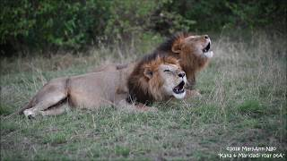 Download Kaka and Maridadi, ROAR. Sons of 4km males/ Blackie and Lipstick. Video