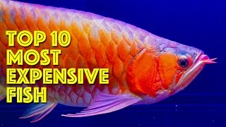 Download Top 10 Most Expensive Aquarium Fish Video