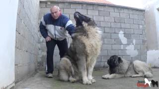 Download DON BIZON is weighed -103, 7 kg - 93 cm Shoulder height -2 years old. Video