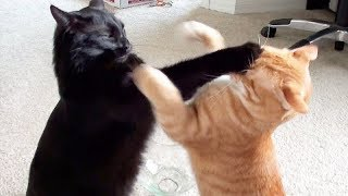 Download NINJA CATS! There's absolutely NOTHING MORE FUNNY! - Impossible TRY NOT TO LAUGH compilation Video