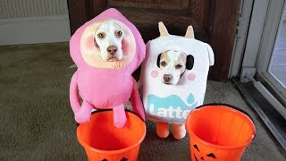 Download Dogs Trick or Treat on Halloween: Funny Dogs Maymo & Penny Video