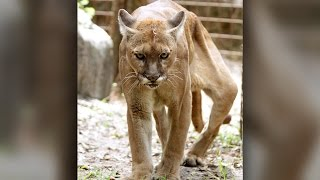 Download Big Cat Rescue: Crippled Cougar Undergoes Emergency Leg Surgery Video