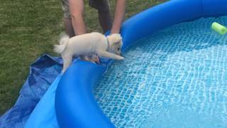 Download Pomeranian Puppy Learns to Swim Video