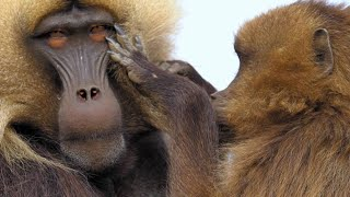 Download Gelada Baboon Reacts to Being Cheated on With Fury Video