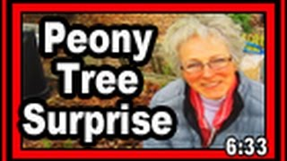 Download Peony Tree Surprise - Wisconsin Garden Video Blog 584 Video