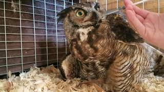 Download Rescuing a Great Horned Owl Video