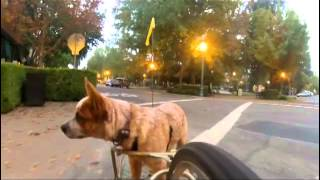 Download My dog riding behind me in a BOB bicycle trailer Video