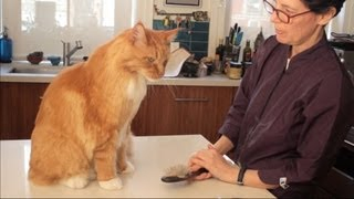 Download Maine Coon Cat Grooming with The Pet Maven Video