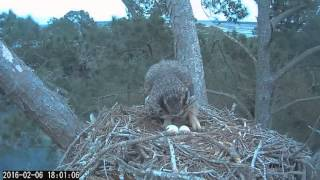 Download Female Great Horned Owl has a dinner break on 2/6/16 Video