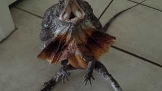 Download Australian frilled dragon freak out! Video