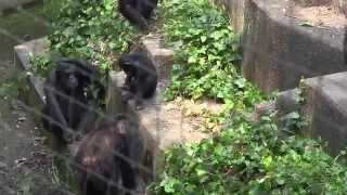 Download チンパンジー大混乱chimpanzee Son to protect the mother Video