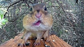 Download A Most Perfect Chipmunk Video Video